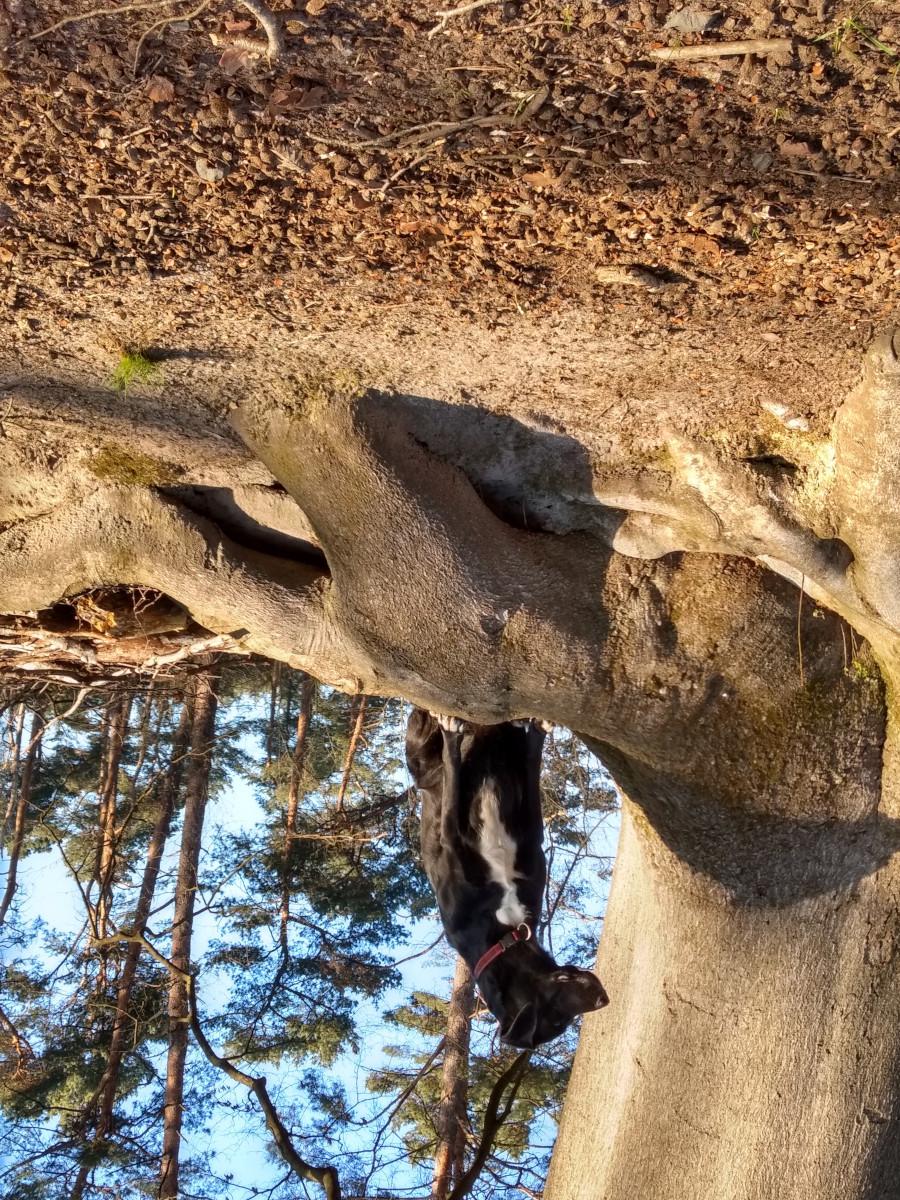 Meine Hündin Bella, eine schwarze Hündin mit weißer Blässe auf einer großen Baumwurzel sitzend. Perspektivwechsel - Das Bild ist auf dem Kopf stehend fotografiert.