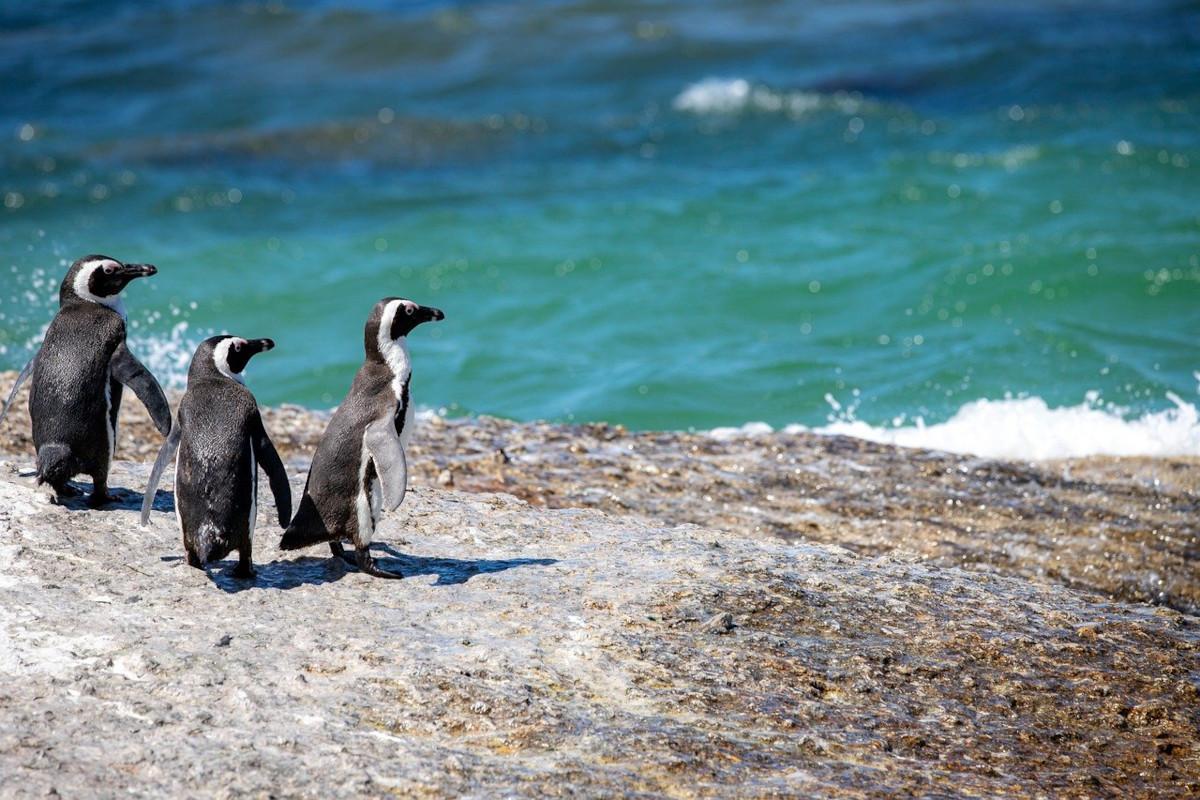 Das Bild zeigt drei Pinguine auf einen Felsen mit Blick auf ein blau grünes Meer.